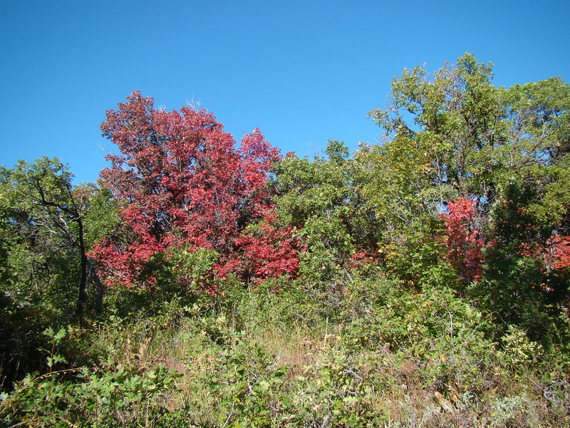 Red Maples against Scrub Oak Snow Basin