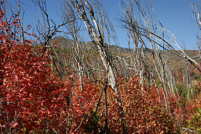 Cascade Springs, Utah New Red Maples