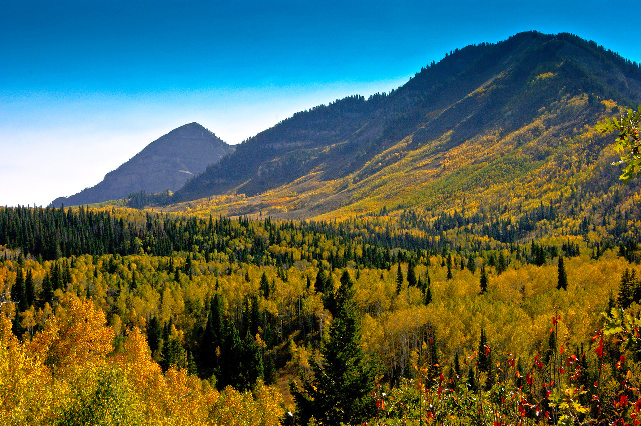 A great view of Aspen mixed with Pine, gold and green.  Alpine Loop, Utah.