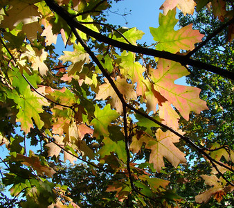 Wasatch Mountain Early Fall Maples