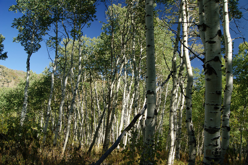 A magnificant stand of large Aspen Trees