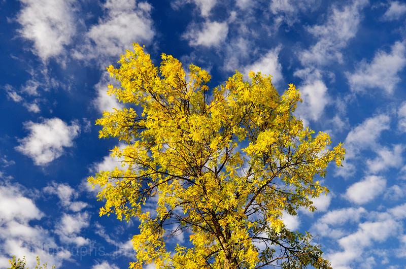 Autumn Tree, Fall 2015