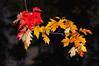 Red and Yellow Maple Leaves Autumn Leaves Autumn Leaves