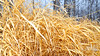 The Golden Grass Of Winter