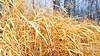The Golden Grass Of Winter