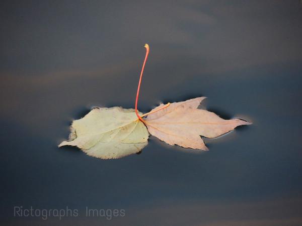 Leaves Fallen on Water