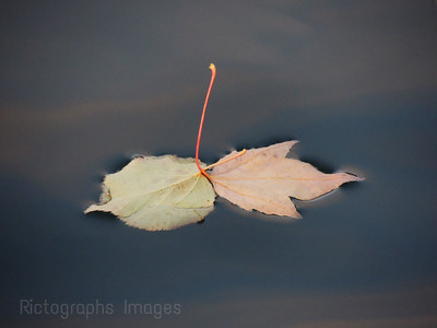 Leaves Fallen on Water