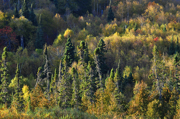 The Boreal Forest Of Trees