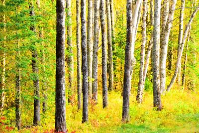 Wild Trees