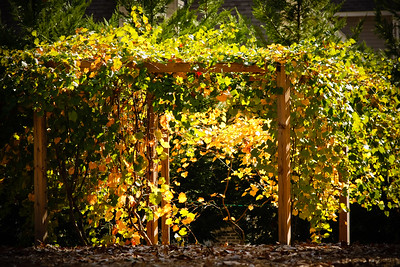 Morning Light on Grape Vines