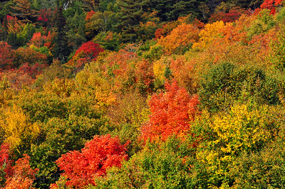 Fall forest, shot northwest of Sault Ste. Marie, Ontario, Canada Autumn Leaves Autumn Leaves
