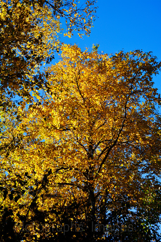 Autumn Trees, Golden Colors