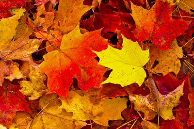 Colorful Maple Leaves in the Fall season, Ontario, Canada