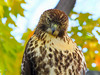 Red Tailed Hawk, juvenile