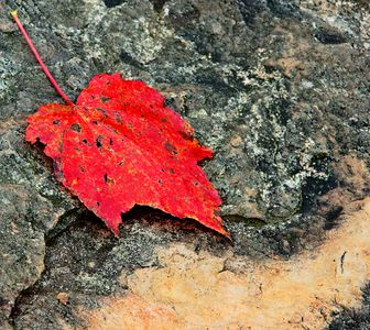 Red Maple leaf Fully pigmented