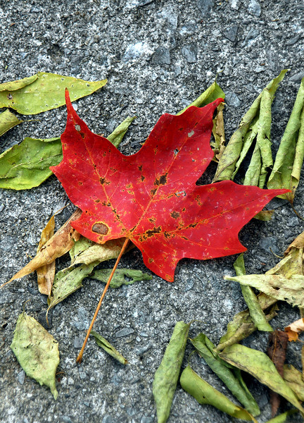 The Fallen Red Maple Leaf, East Tennessee - Fall Foliage