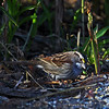White-Throated Sparrow in my yard