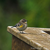 Yellow-rumped Warbler at my house - on deck rail