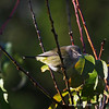 Orange Crowned Warbler in my yard