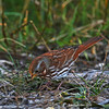 Fox Sparrow in my Yard