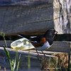Eastern Towhee in my Yard