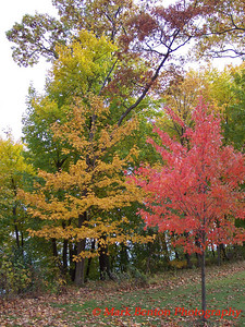 Multicolor Maples