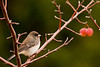 Junco on Apple Tree