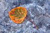 Aspen Leaf on Rock