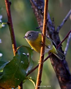 Fall Warblers & Kinglets
