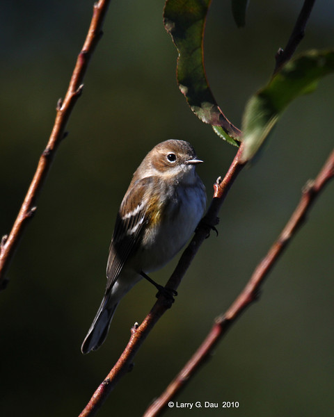 Yellow-RUmped Warbler - 1st Year