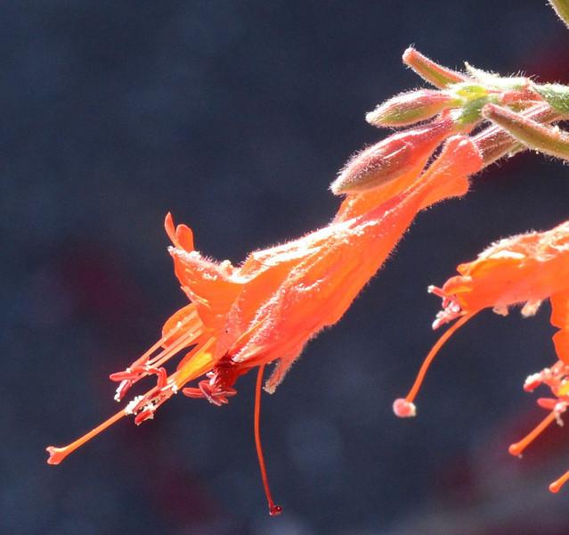 zauschneria closeup_DSC_1149