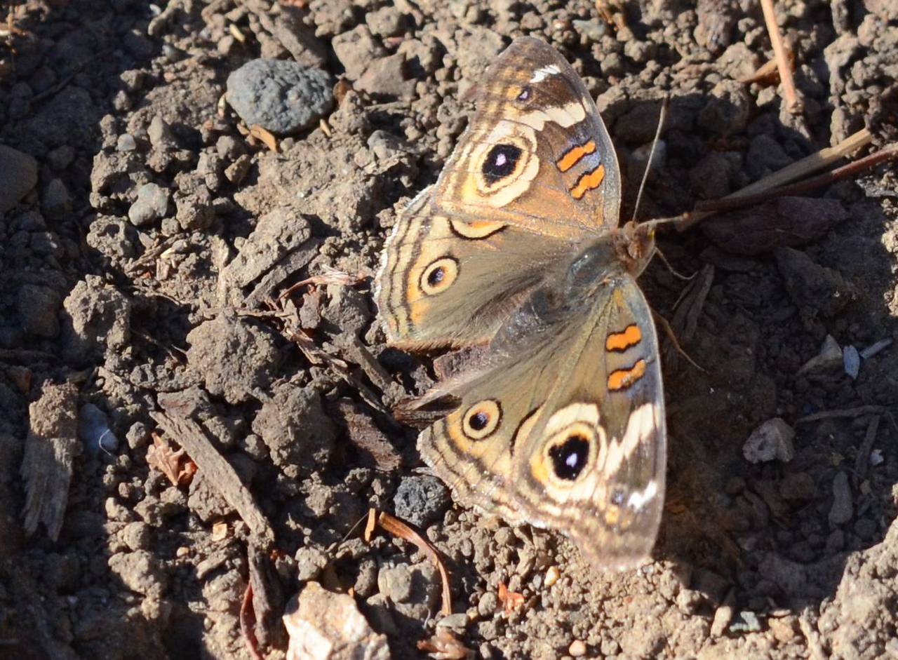 In between shots of the smaller butterflies, I had a change to get a picture of this larger brown butterfly.