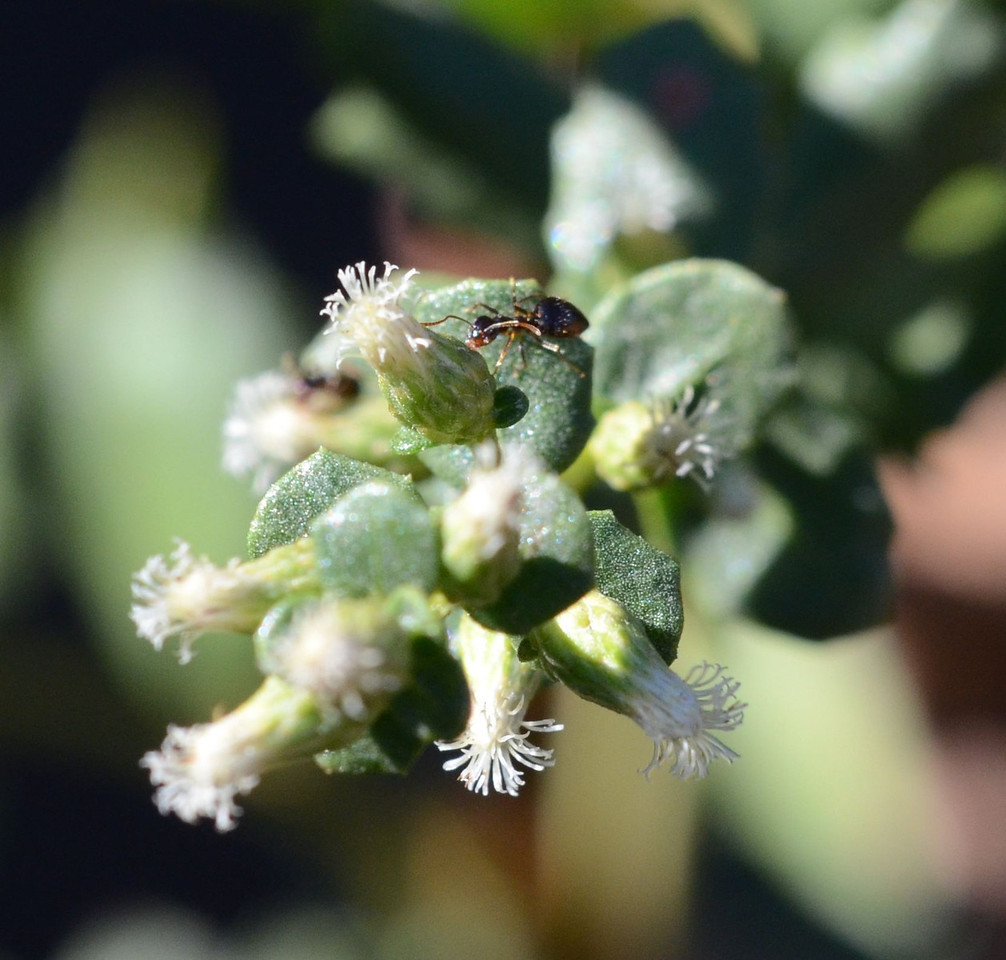 coyote bush flower with ant_DSC_1142