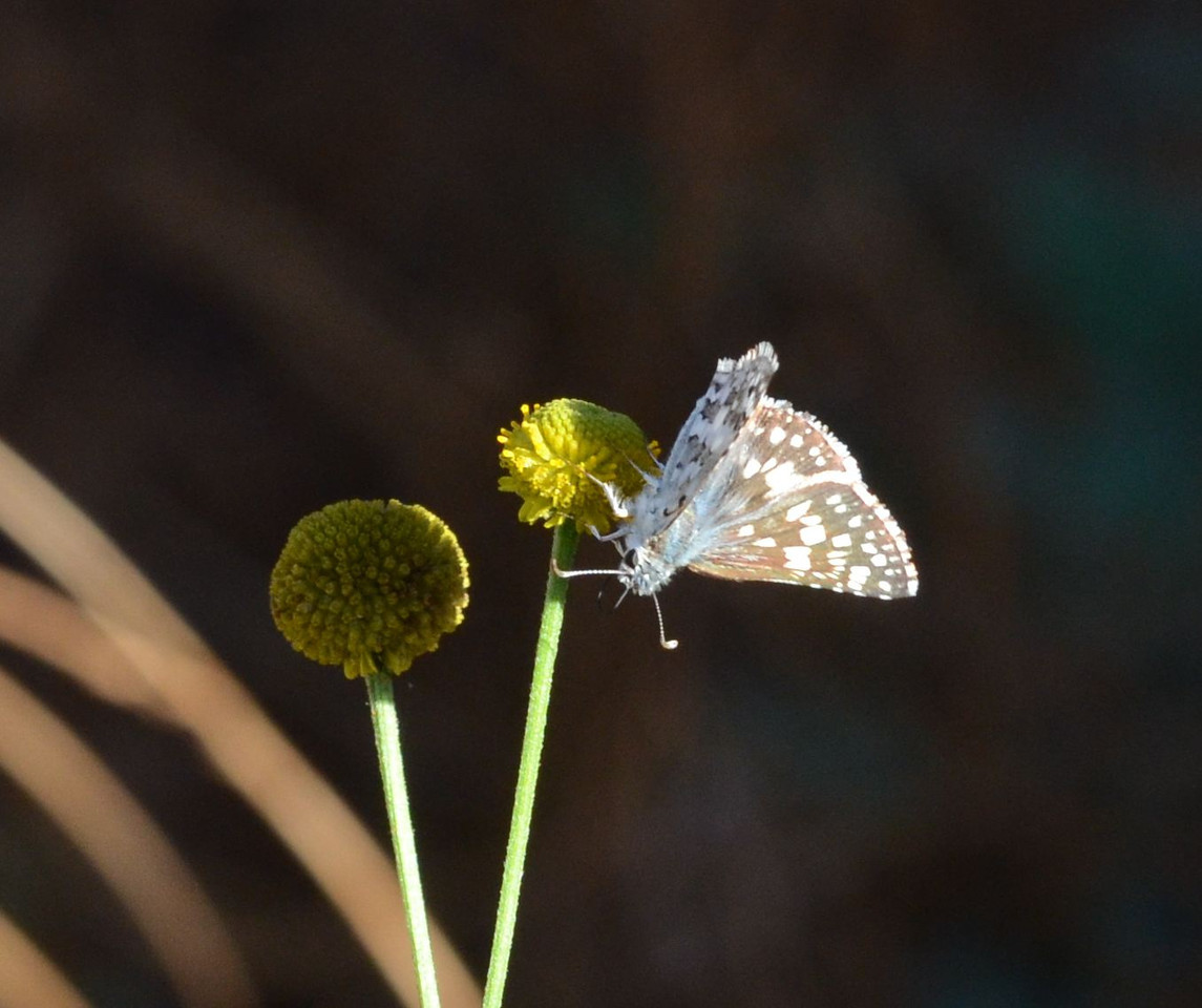 blue butterfly_upside down_DSC_1168