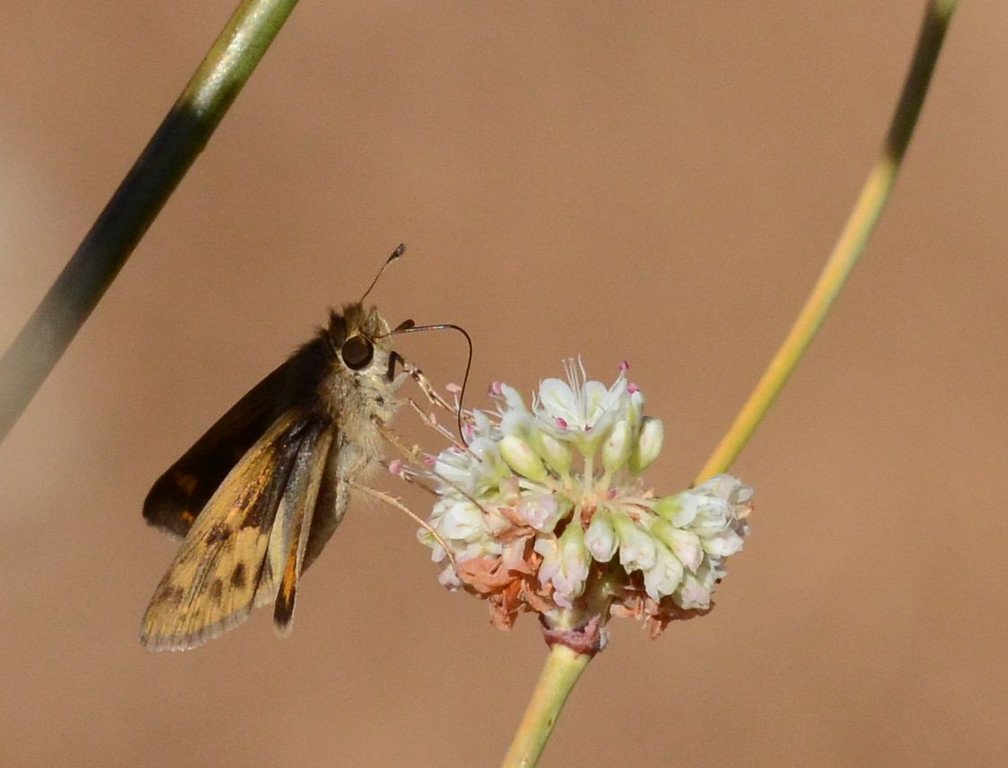 I was interested in the detail of the butterfly, the smooth bokeh in the background and the color of the buckwheat stems in this and the next two pictures.