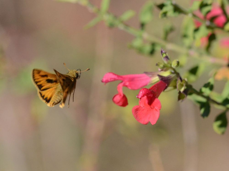 After I took pictures of the small yellow and brown butterfly in the back yard, I moved to the front yard.  I was surprised to see another butterfly of this type visiting a sage flower.