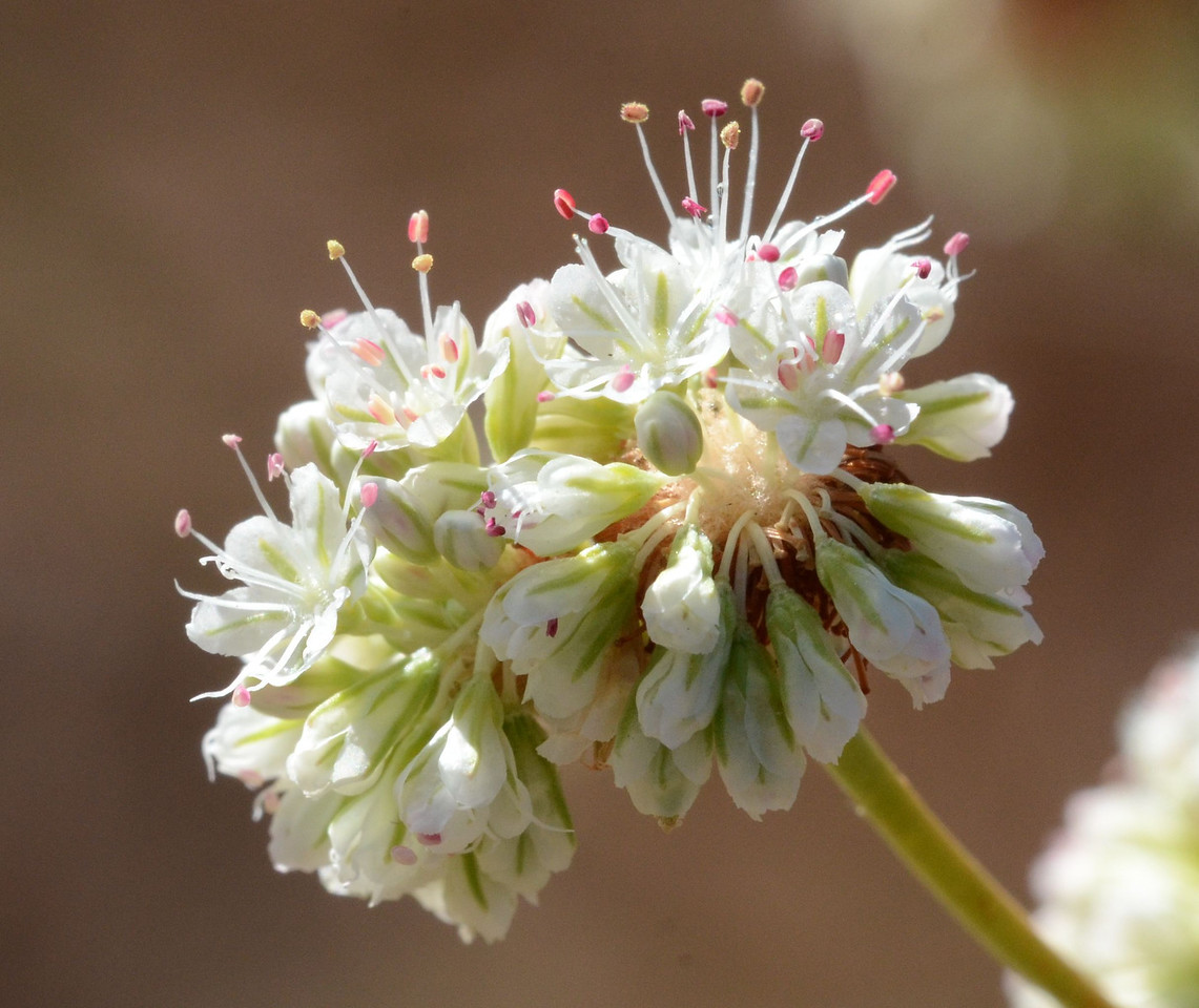 buckwheat flower cluster_DSC_1111