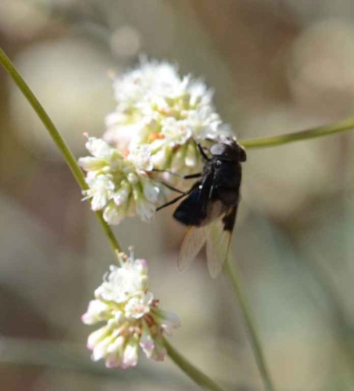 A large black fly with interesting wings landed on a buckwheat cluster today.  I got my camera but I was barely able to get this mediocre picture.  You can see that the wings are blacki near the roots and transparent out near the tips.  The eyes appears to be quite light in color.
