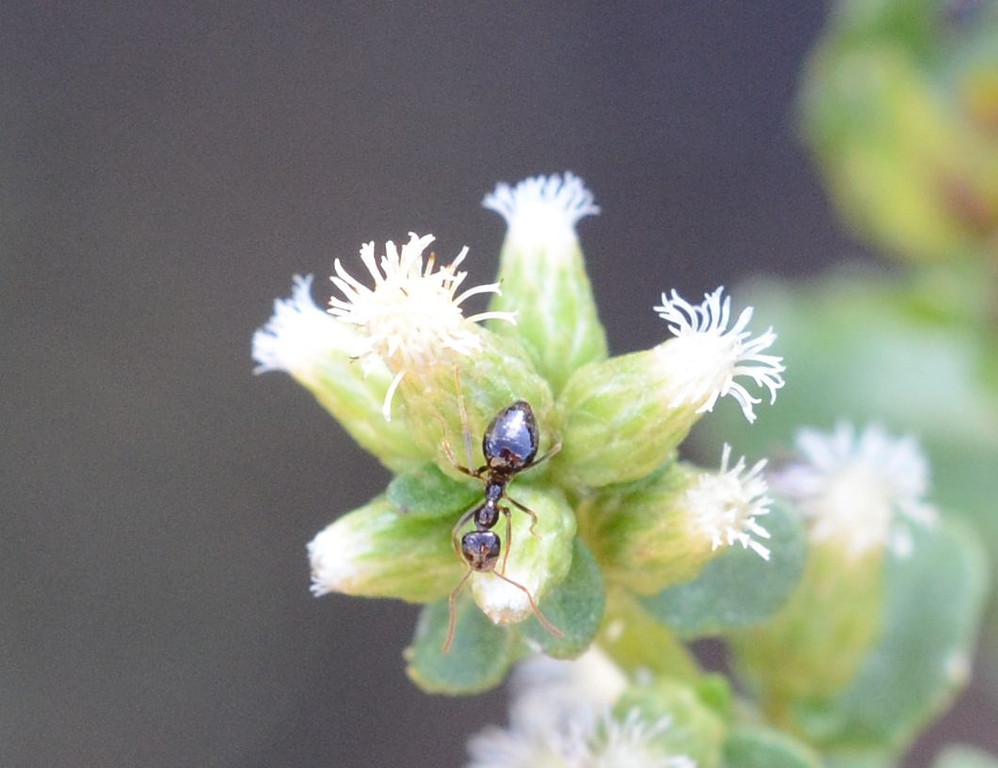 Small ants were the first arrivals on the coyote brush flowers as they started to open.  The ant's body has a very shiny mirror finish that reflects light quite efficiently.<br /> <br /> The newly opened blossoms remind me of sea anemones.