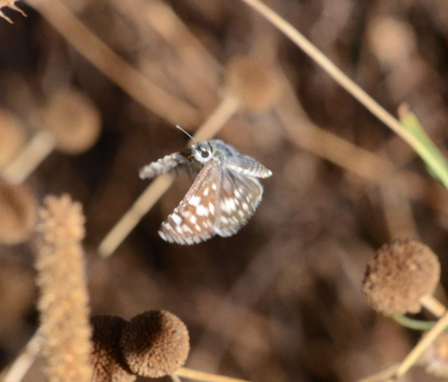 blue butterfly_flying_DSC_1167