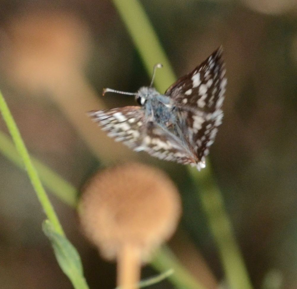 This image and the next one aren't great quality but they show the butterfly in flight.