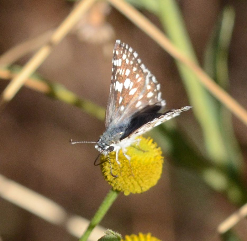 blue butterfly_head_DSC_1161