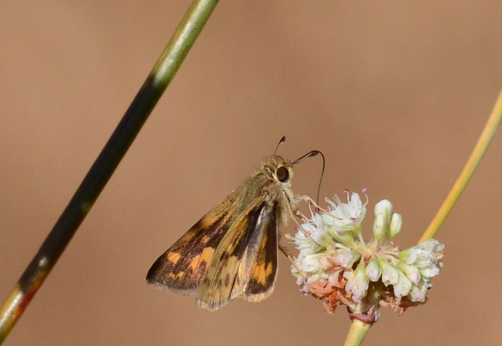 small brown butterfly on buckwheat_closeup_DSC_1133