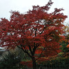 A maple tree in front of our condo.