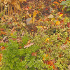 Very healthy parsley with blueberry bushes turning redgold in the back.