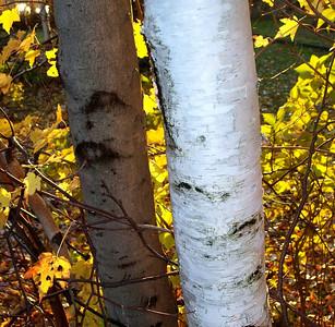 shining birch