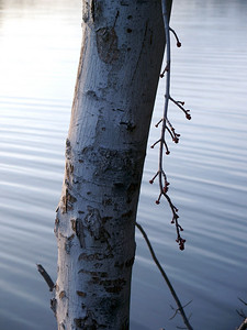 birch reflecting