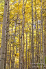 Aspens in fall.  Eastern Sierras.  Above Aspendell, California, USA.