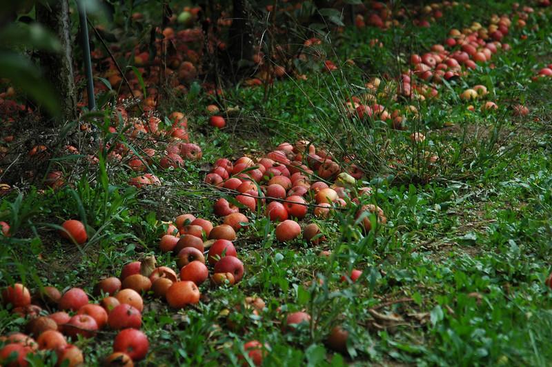 Apple picking, September.