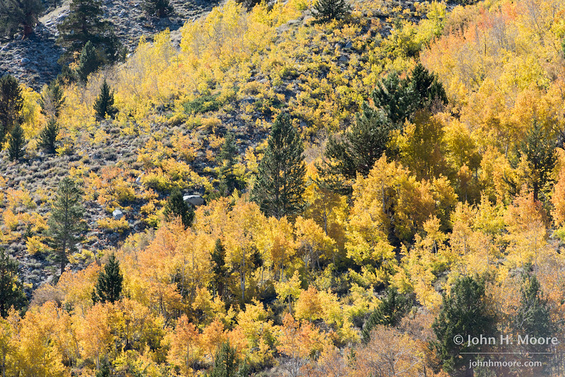 Aspens turn yellow and orange in the Bishop Creek drainage.  Eastern Sierra, California, USA